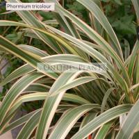 Phormium Flax Tricolour