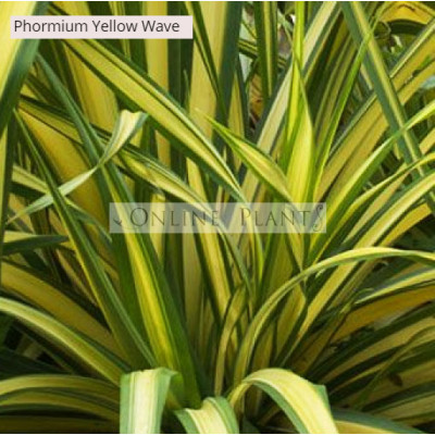 Phormium Flax Yellow Wave