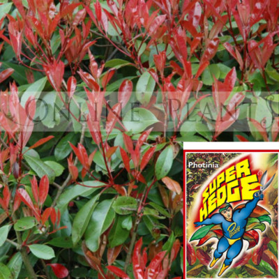 Photinia Super Hedge