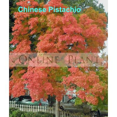 Pistachia chinensis Chinese Pistachio