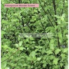Pittosporum tenuifolium Wonder Screen