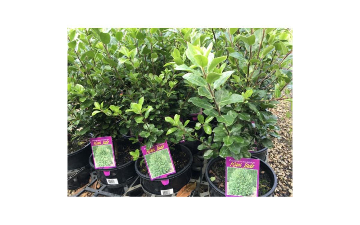 Is Pittosporum Best For Bordering Your Garden?