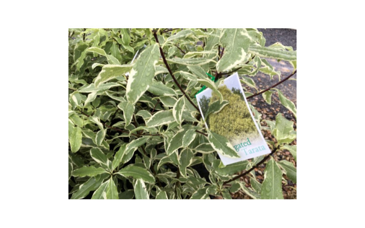 Is Pittosporum Good For Fencing Your Yard - Find How?