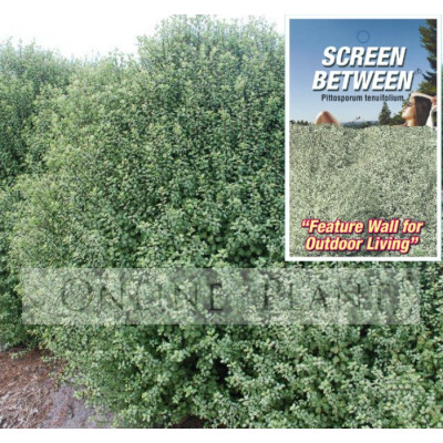 Pittosporum Screen Between