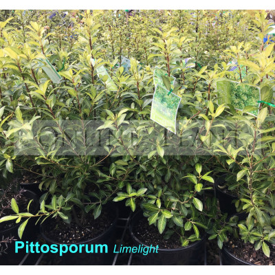 Pittosporum Tenuifolium Limelight