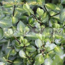 Pittosporum tenuifolium Sunburst