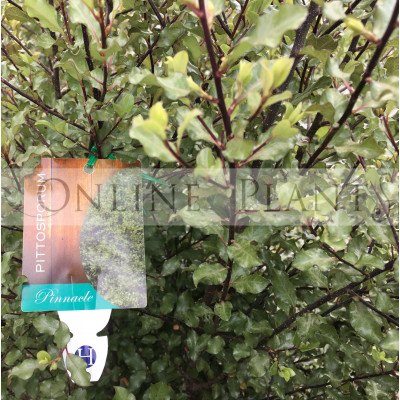 Pittosporum Pinnacle