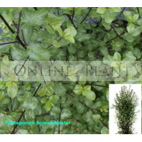 Pittosporum tenuifolium Screen Master