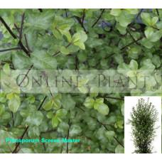 Pittosporum tenuifolium Screen Master