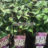 Plectranthus Velvet Elvis
