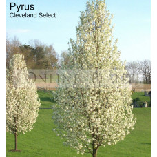 Pyrus calleryana Cleveland Select Ornamental Pear