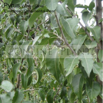 Pyrus Calleryana Winter Glow Evergreen Pear