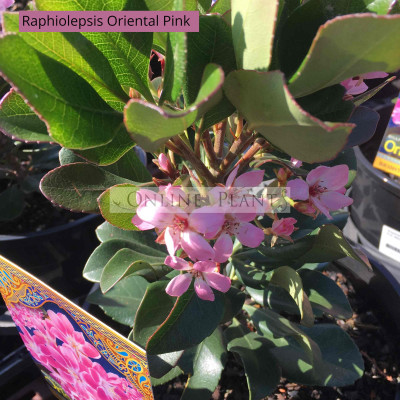 Raphiolepsis Oriental Pink