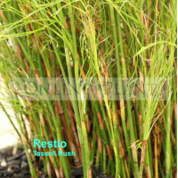 Restio tetraphyllus, Long Leaf Tassel Rush