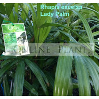 Rhapis excelsa Lady Palm