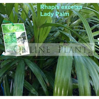 Rhapis excelsa Lady Palm