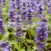 Salvia azure