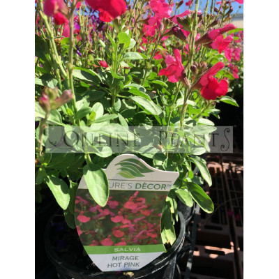 Salvia Mirage Hot Pink