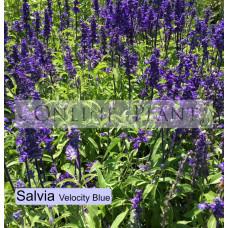 Salvia Velocity Blue