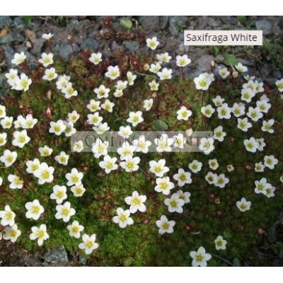Saxifraga White