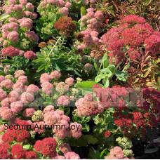 Sedum autumn joy