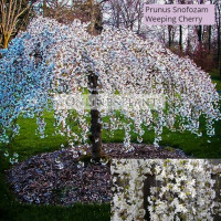 Prunus snofozam Falling Snow