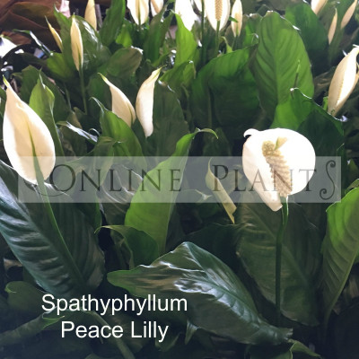 Spathiphyllum peace lilly