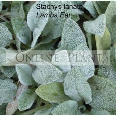 Stachys Lanata lambs ear