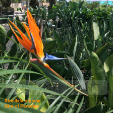 Bird of Paradise Strelitzia
