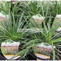 Stylidium Dinosaur Grass