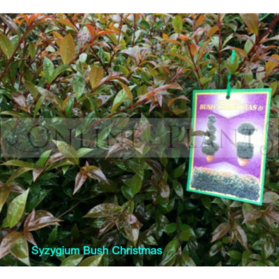 Syzygium Bush Christmas lilly pilly