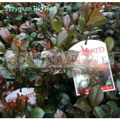 Syzygium australe Big Red