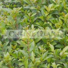 Syzygium Baby Boomer