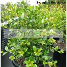 Syzygium resilience lilly pilly