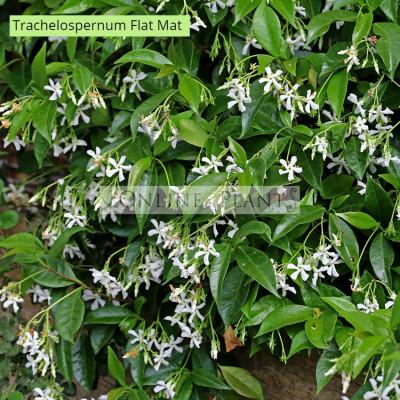 Trachelospermum asiaticum  Flatmat™