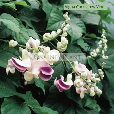 Vigna caracalla Corkscrew Vine