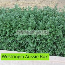 Westringia Aussie Box®  PBR