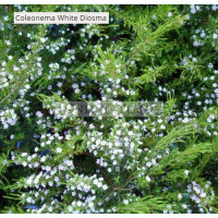 Coleonema album White Diosma