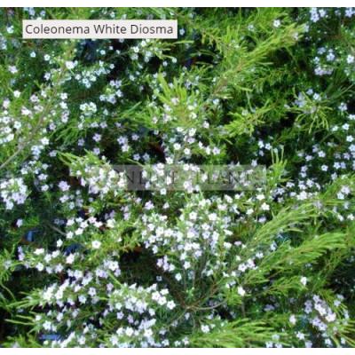 Coleonema album White Diosma