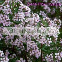 Zieria Pink Crystals