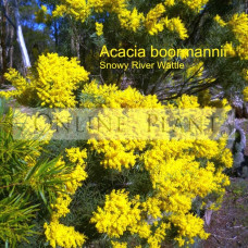 Acacia boormanii, Snowy River Wattle