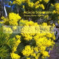 Acacia boormanii, Snowy River Wattle