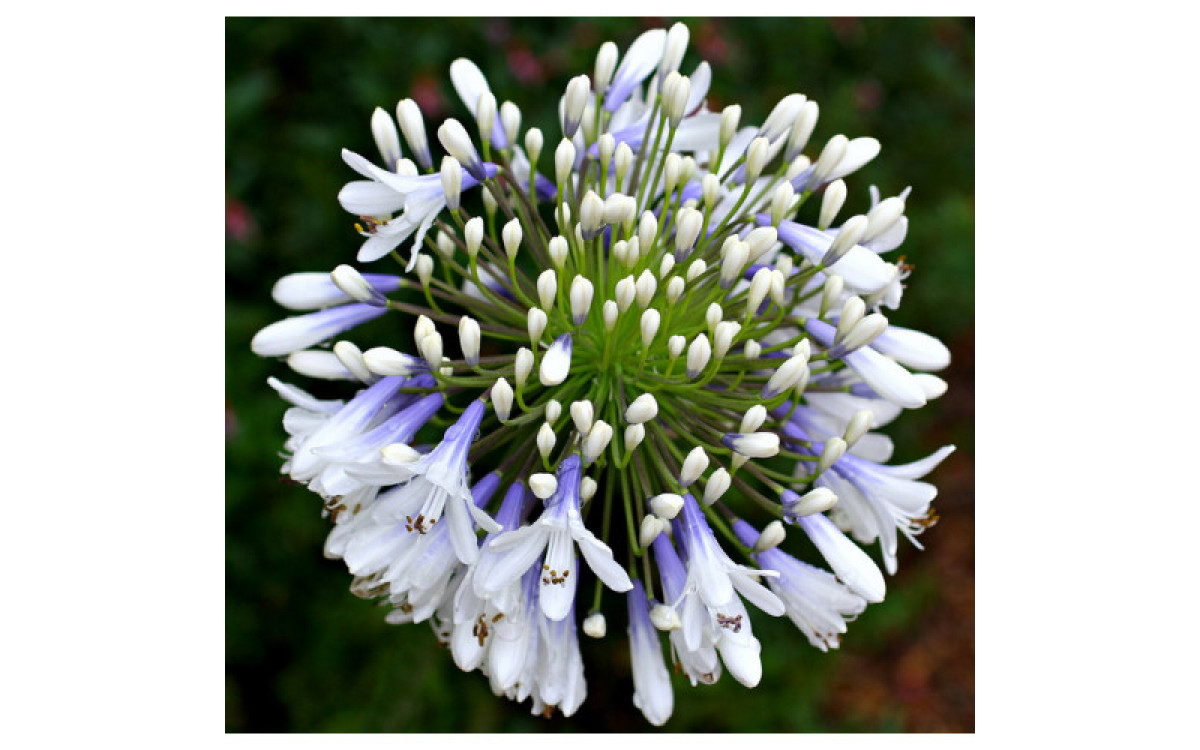 A Lovely Plant To Beautify Your Patio - Agapanthus