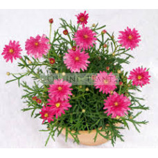 Argyranthemum Honeybee Double Pink