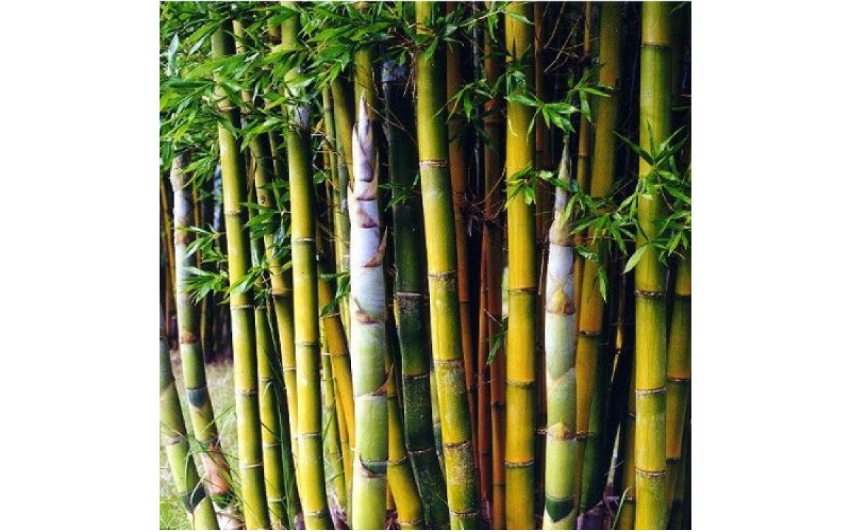 Buy Bamboo Plants Online And Beautify Your Garden
