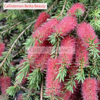 Callistemon ken morrisonii Betka Beauty