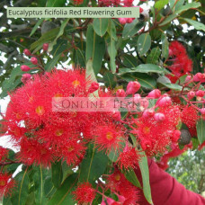 Corymbia ficifolia Red Flowering Gum