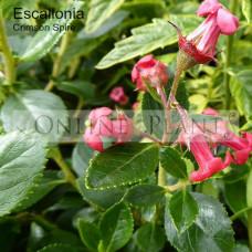 Escallonia Crimson Spire