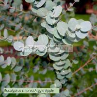 Eucalyptus cinerea Argyle Apple