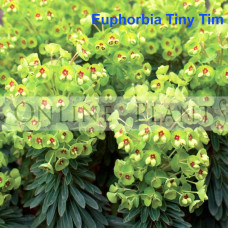 Euphorbia martinii Tiny Tim